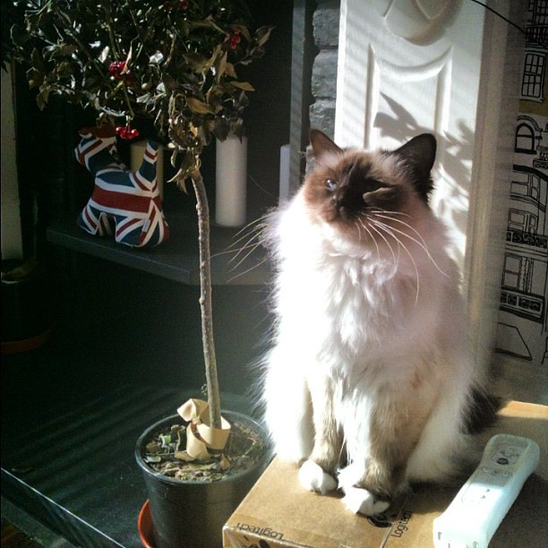 Daisy boo getting the last bit of the #sun - #birman #neko #cat #nofilter
