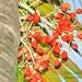 Small photo of Areca Nut Palm