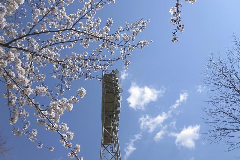 Sakura @Toyohashi Ballpark