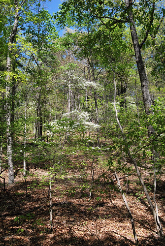 Dogwood tree in the understory of an Oak-Hickory forest in Barry county, Missouri.
