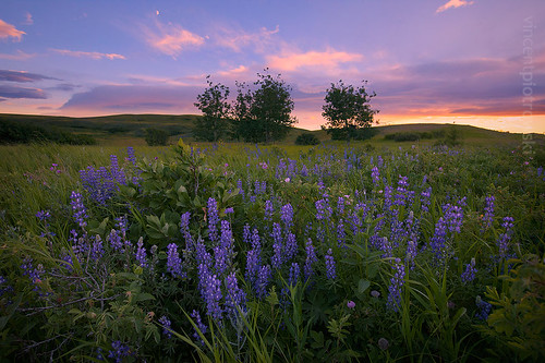 Lupine Meadow at Sunset