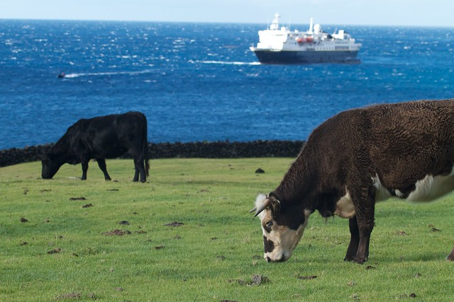 Cow pastures in the setllement, Tristan da Cunha - each family can have 2 cows.