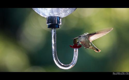 motion bird nature glass wings hummingbird fav50 bokeh beak feeder fav20 sugar nectar pajaro fav30 oiseau flutter uccello colibri zucchero nettare 1000v fav10 fav40 elmofoto lorenzomontezemolo flickrmarketplace flickrlicensing