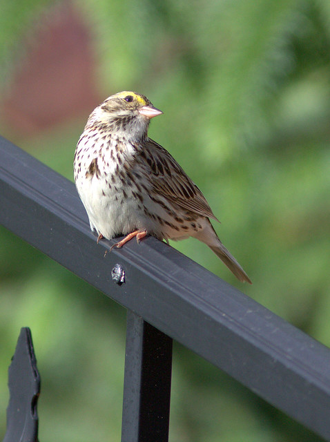 Savannah Sparrow looking up 20120509
