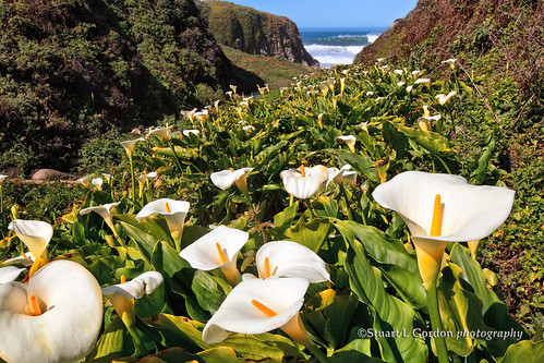Calla Lilly Heaven2012_1988_WM