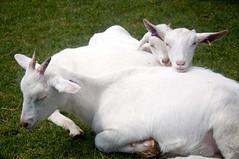 animal, mammal, goats, domestic goat, fauna, pasture,