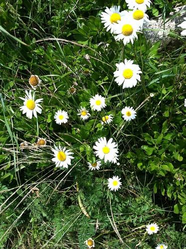 Nantucket flower 1