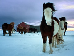 Horses in the Snow ng
