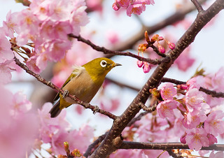 Blossom Loving Bird