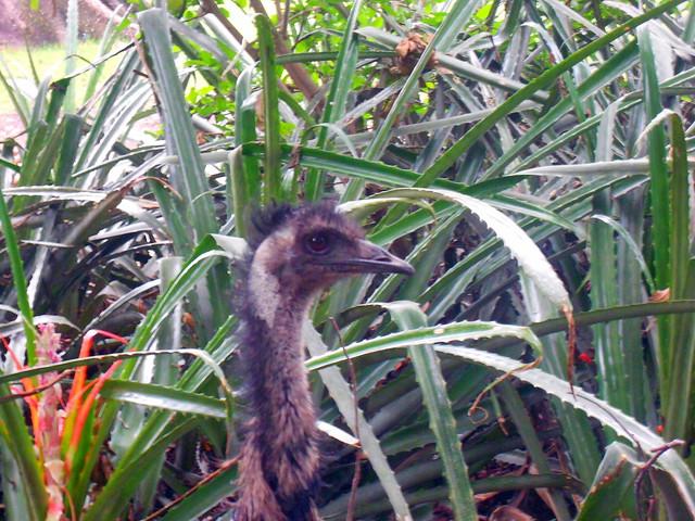097 Emú