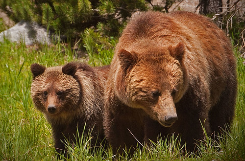 ANS-Moma Grizzly