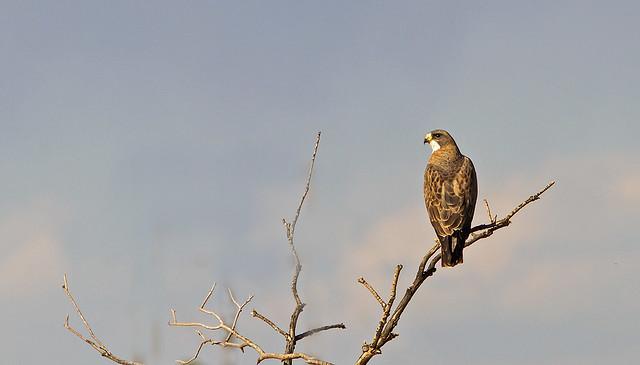 Swainson's Hawk_1069