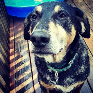 Just gave all 4 dogs a bath outside... Which means I got one too! Tut wouldn't even look at me until I gave him a treat. #notsohappydog #bathtime #instadog #dogstagram #houndmix #rescued #coonhoundmix #nosmilehere #deck #summer