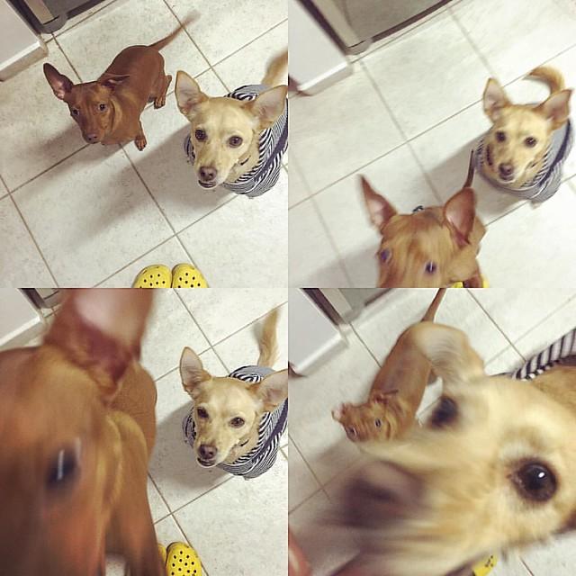 O que a gente faz por um petisco, pula muuuuuuito alto 😋🐶🐶😋 #cacalovesrolha #cacaerolhalovepetiscos #carinhosdogshow #maçaebanana  #pet #petsofinstagram #dog #dogsofinstagram #ilovemydog #mutt #puppy #viralata #puppiesofinstagram #odiadaca