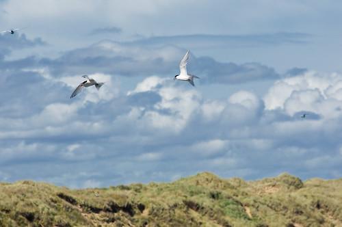 Antarctic Terns, Waipapa Point, Catlins, Southeast New Zealand