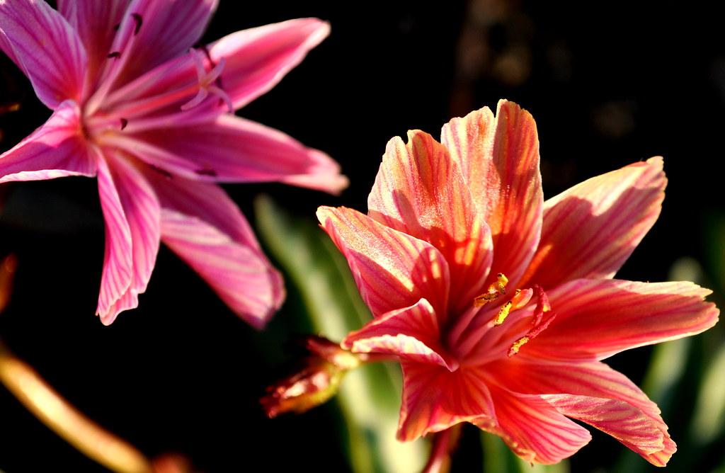 rockery flowers