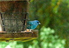 nature, green, fauna, bird feeder, bluebird, bird,