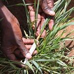 Stem rust inoculation of wheat by injection