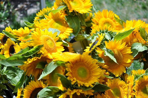 KWTCSA Sunflowers