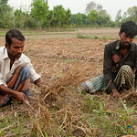 Harvesting Garlic from Fields - Hatiandha, Bangladesh