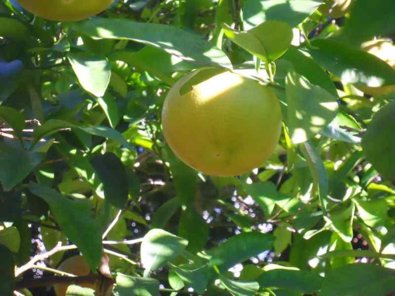 Citrus x paradisi 'Star Ruby' 1