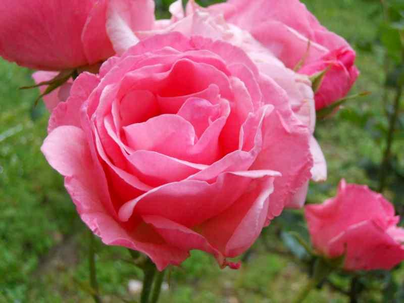 Rosa 'Centenaire de Lourdes' 2