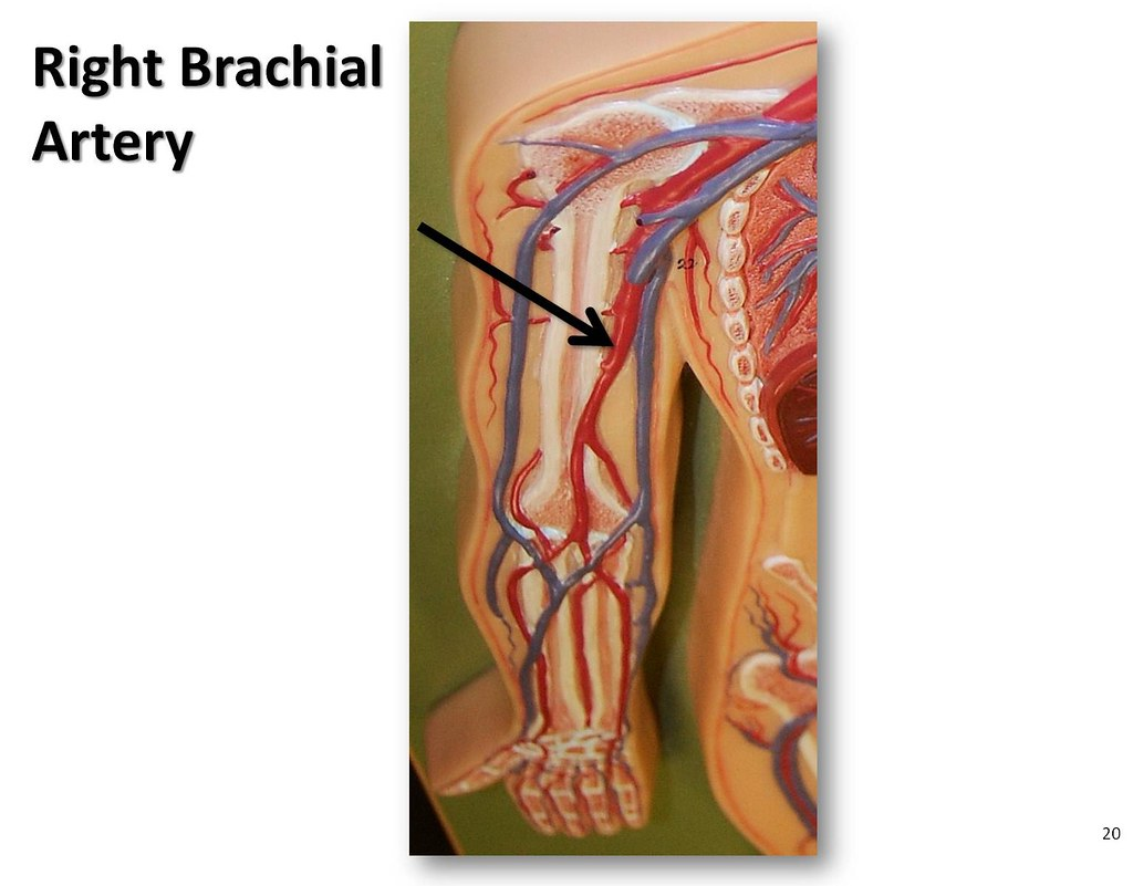 Right Brachial Artery The Anatomy Of The Arteries Visual Guide