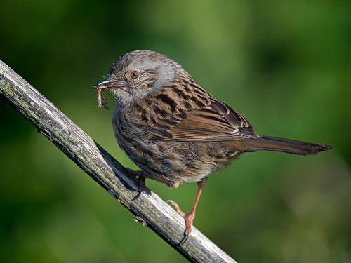 Another Dunnock with insect