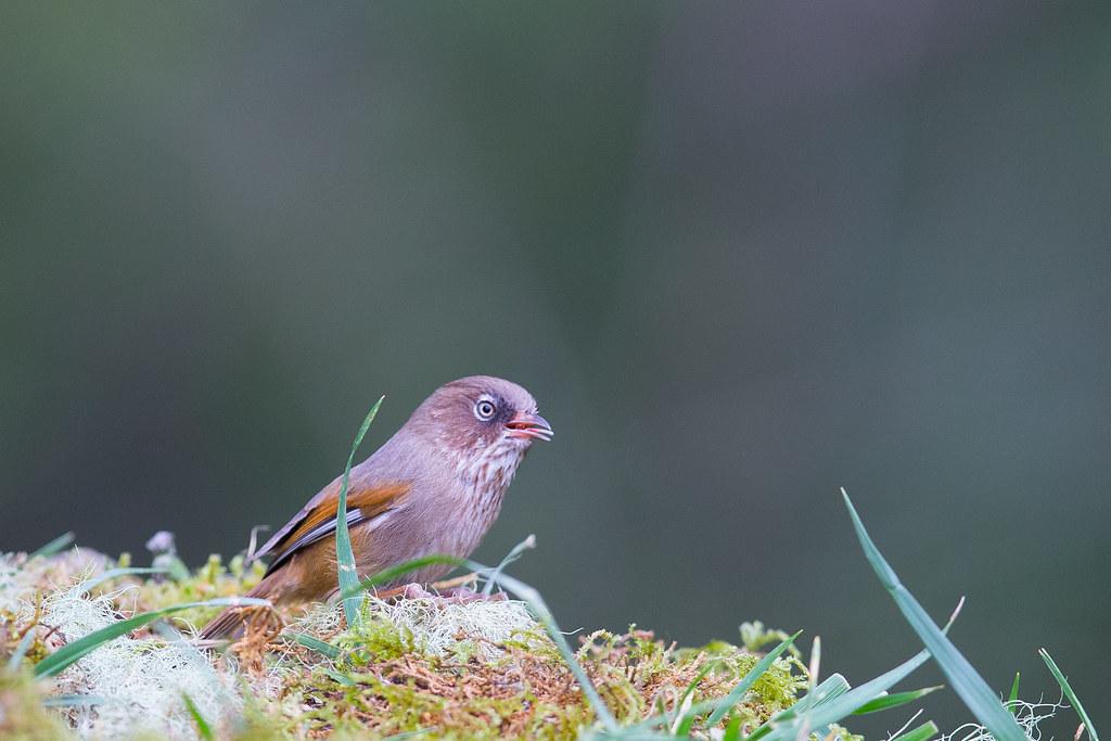 褐頭花翼-1389