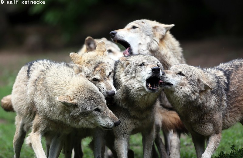 Pack and Individual Behavior of Wolves - May 2014 01