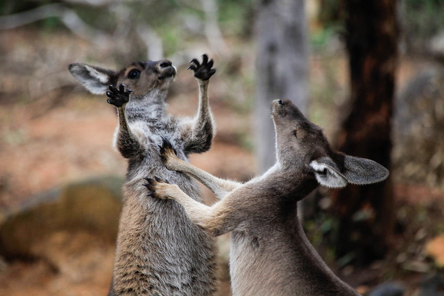 Western Grey Kangaroo's play fighting, Perth hills. Western Australia