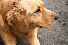 dog breed(1.0), labrador retriever(1.0), nose(1.0), animal(1.0), dog(1.0), pet(1.0), street dog(1.0), snout(1.0), mammal(1.0), nova scotia duck tolling retriever(1.0), golden retriever(1.0), chesapeake bay retriever(1.0),