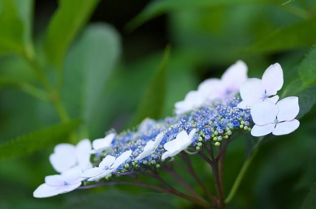 東京路地裏散歩 王子の紫陽花 2014年6月15日