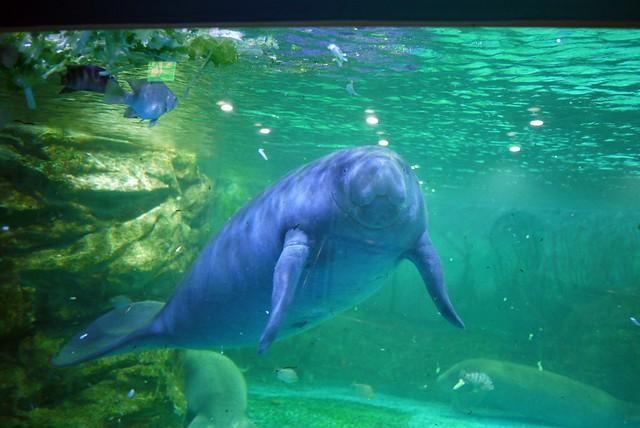 Manatee coex aquarium flickr photo sharing Manatee aquarium