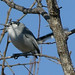 White-lored_Gnatcatcher_Tehuantepec_Oaxaca_Mexico_2004_12_22_060.jpg por maholyoak