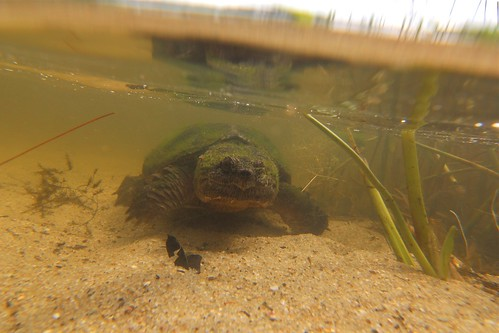 Underwater Snapping Turtle at Kettle Hole Pond - Cape Cod