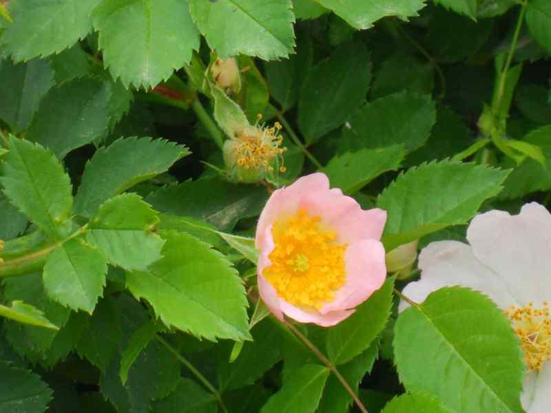 Rosa canina 4