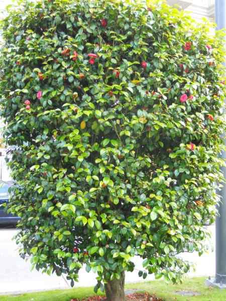 Camellia japonica 'Elegans' v 2