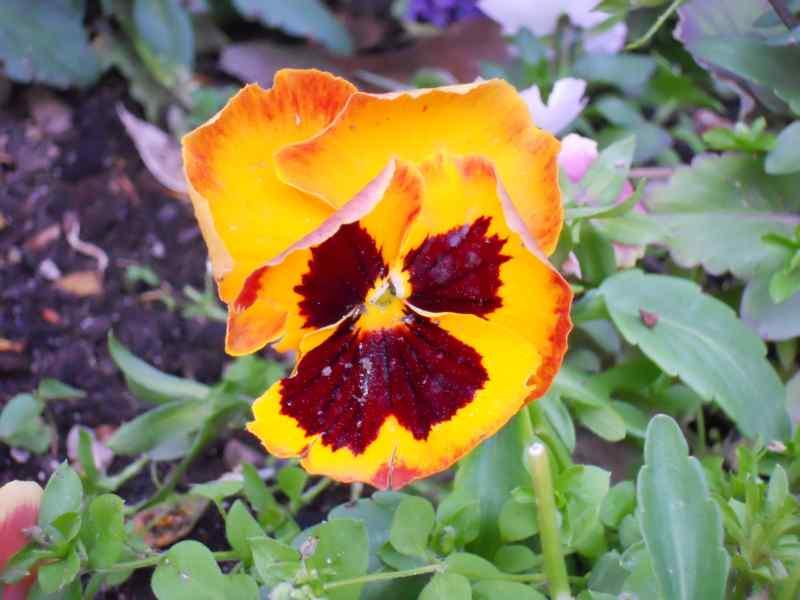 Viola x witrockiana 5