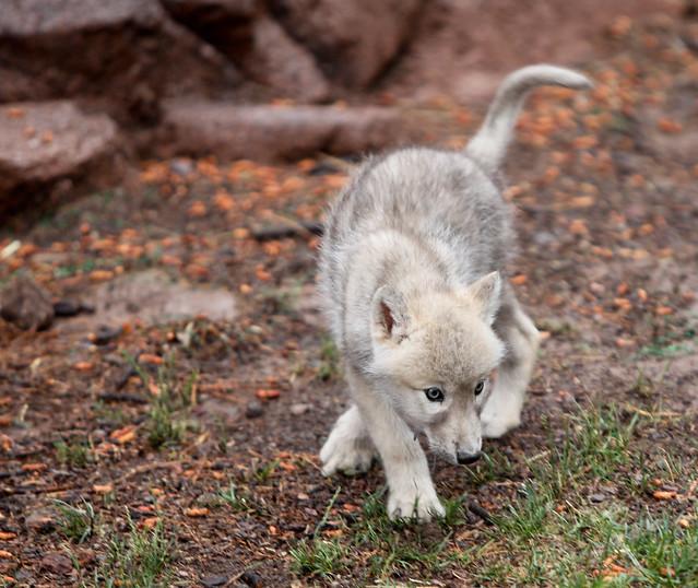 Baby Wolf Cub | Flickr - Photo Sharing!