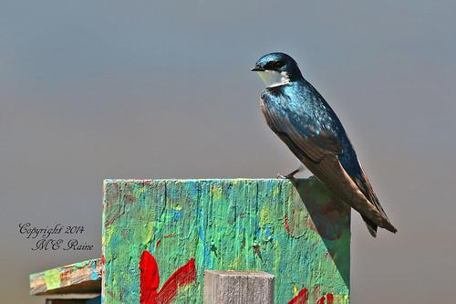 "nature birds animal creek wildlife meadowlands marsh swallow ""tree marsh"" ""mill nj"" swallow"" ""secaucus"