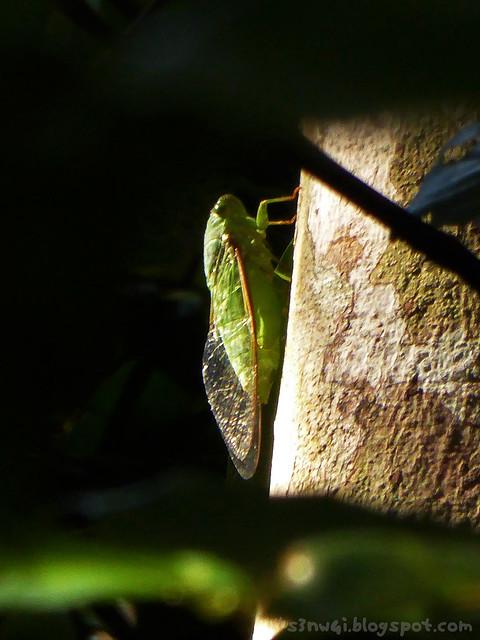 Santubong 26 Jade-Green Cicada (Dundubia vaginata)