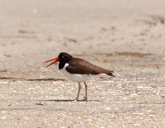 sandpiper(0.0), animal(1.0), fauna(1.0), close-up(1.0), oystercatcher(1.0), shorebird(1.0), beak(1.0), bird(1.0), wildlife(1.0),