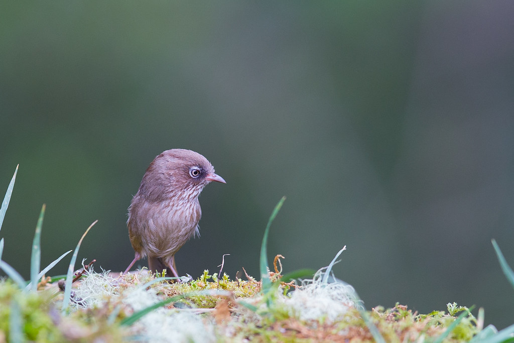 褐頭花翼-1386