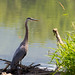 Great Blue Heron-tlh