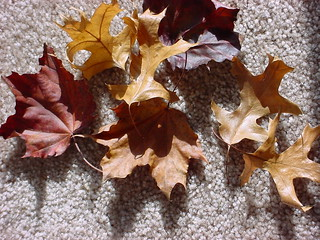 maple_hojas