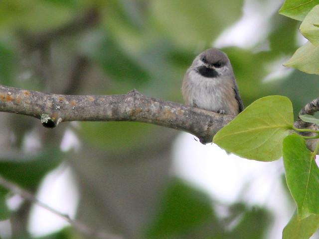 Chickadee 20110621