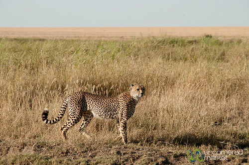 Cheetah Decides Hunting Strategy - Serengeti, Tanzania