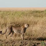 Cheetah Decides Hunting Strategy - Serengeti, Tanzania