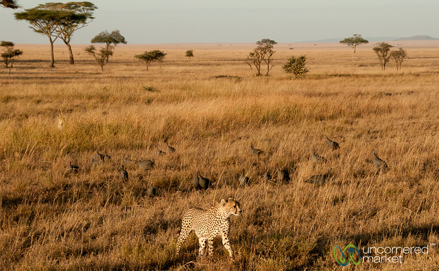 Guinea Fowl Raising Alarm for Cheetah - Serengeti, Tanzania